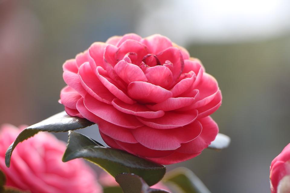 Flor De Camelia Significado Propiedades Y Beneficios