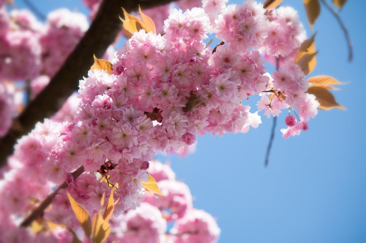 Flor Del Cerezo Significado Propiedades Y Beneficios