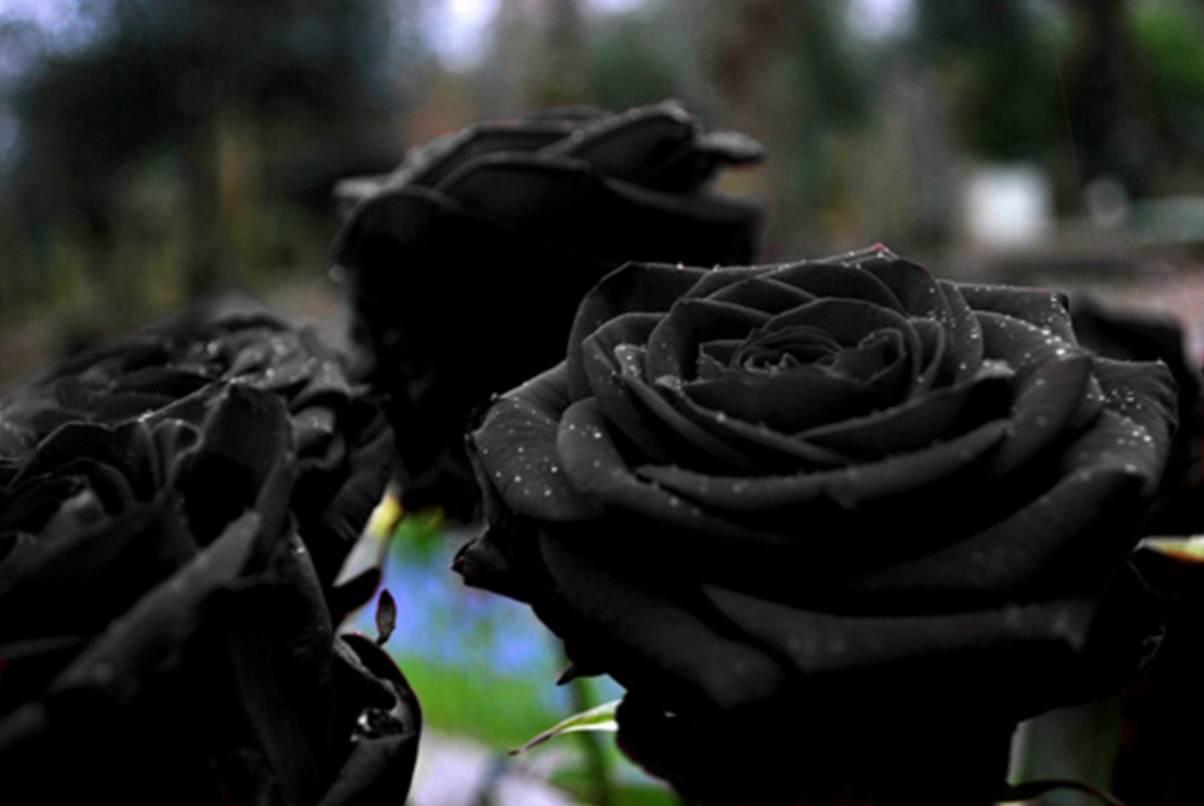 Flores De Color Super Negro Significado Propiedades Y Beneficios