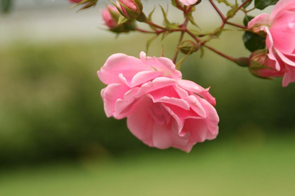 Flores Rosas Significado Propiedades Y Beneficios