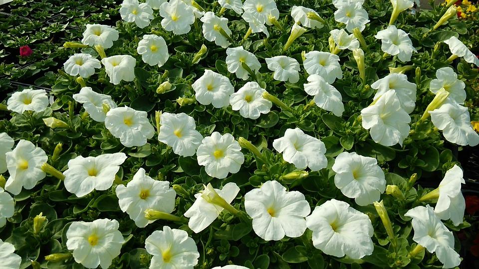 Flores blancas significado propiedades y beneficios - Significado rosas blancas ...