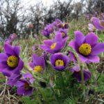 Flor de pulsatilla