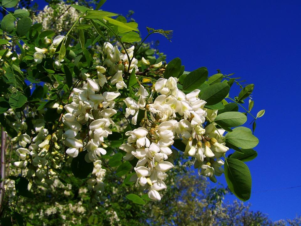 Planta acacia para adelgazar
