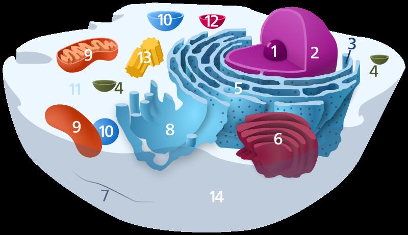 ribosomas concepto