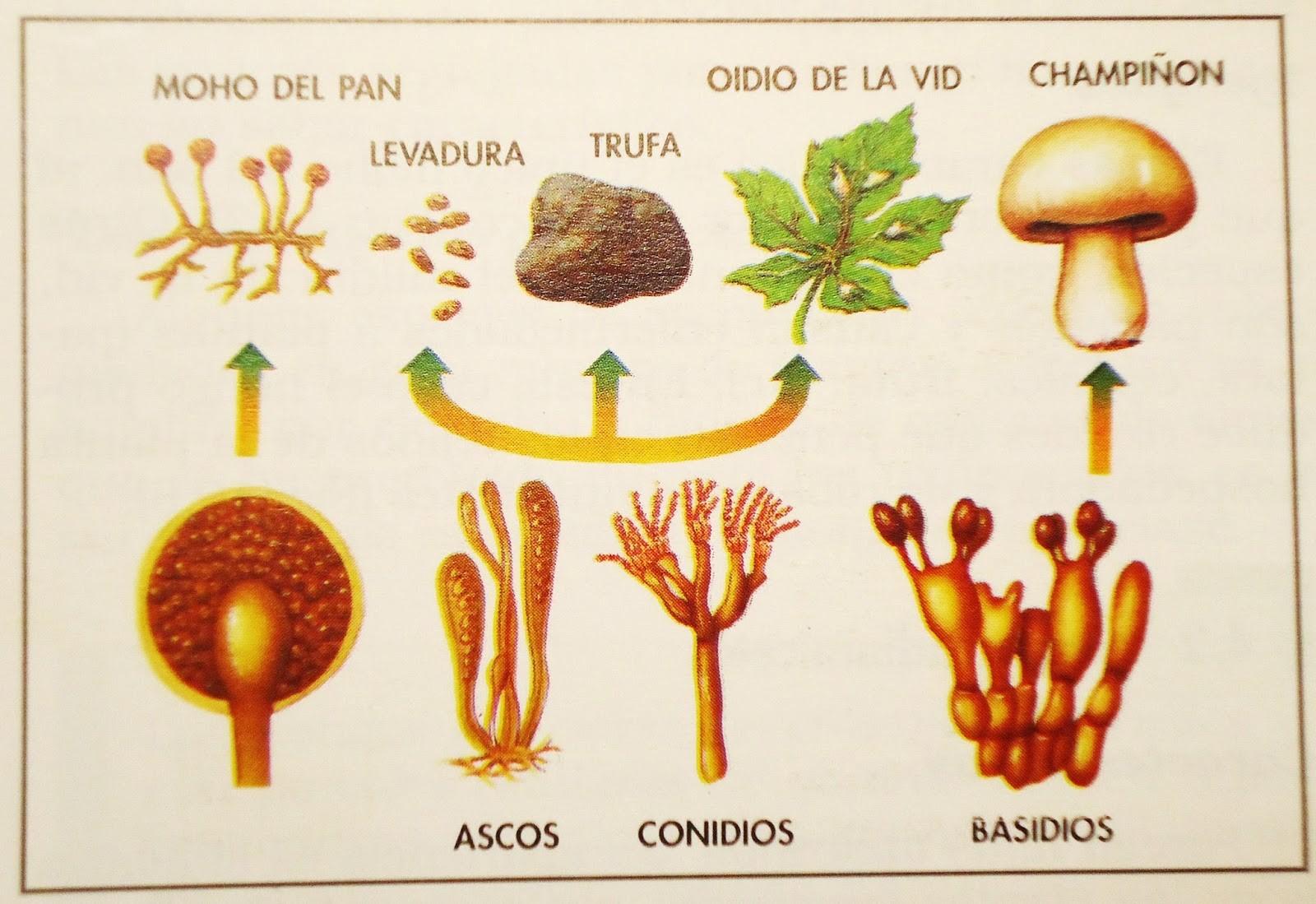 reino fungi características