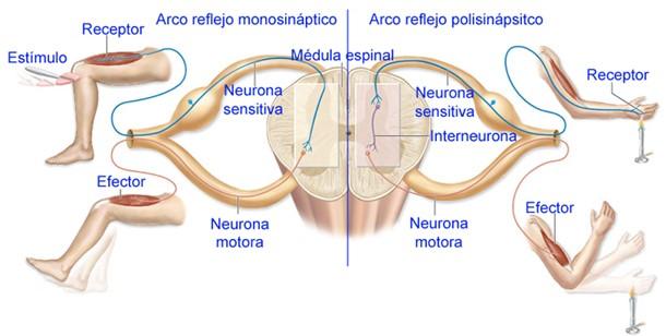 médula espinal meninges