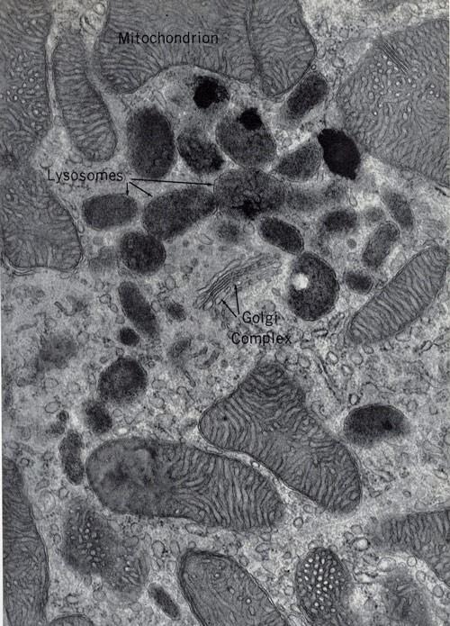 lisosomas al microscopio
