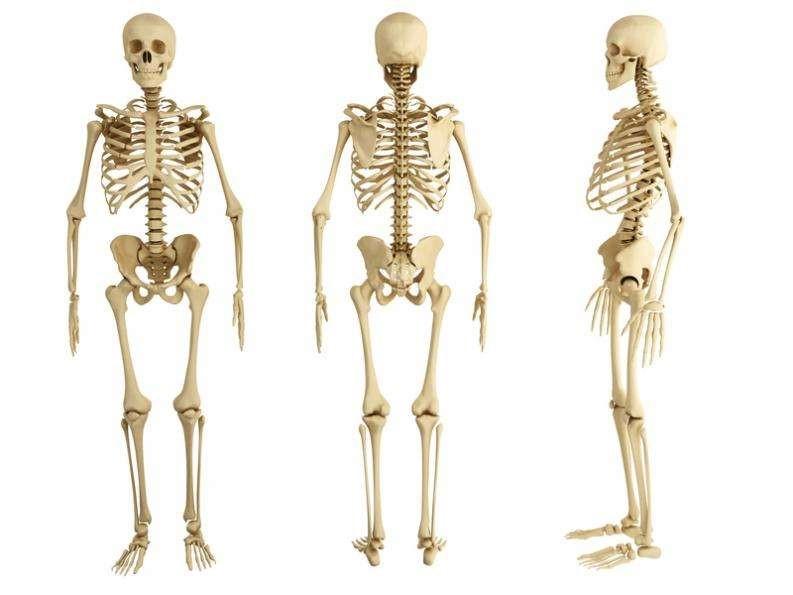 aparato locomotor huesos