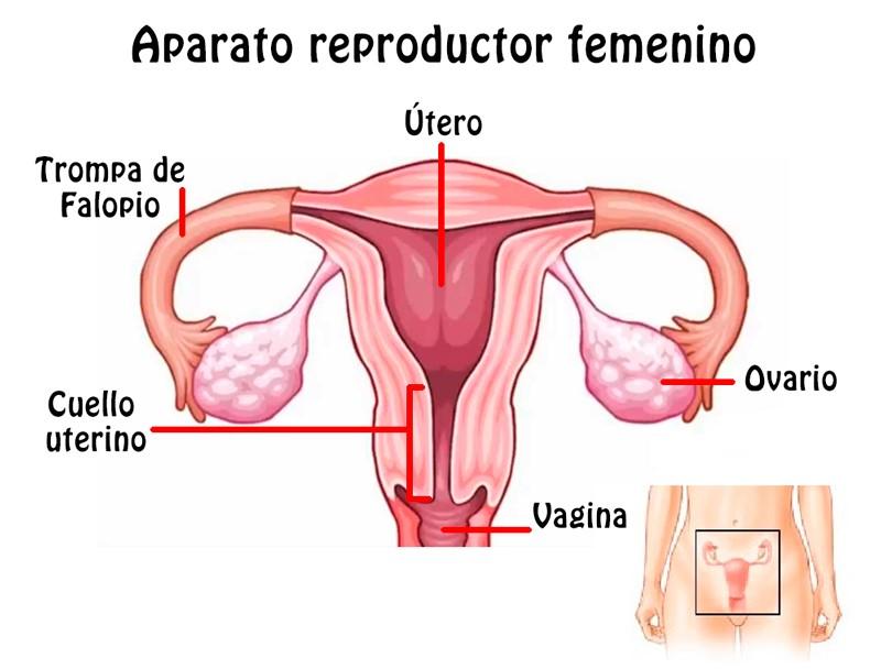 ▷ Aparato Reproductor Femenino ¿Qué es y qué significa? ¡Aprender ...