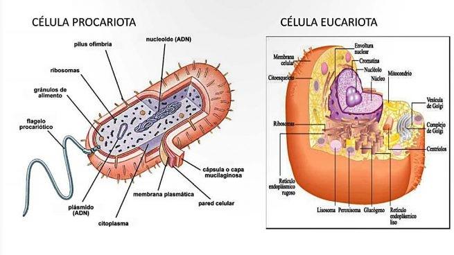 ribosomas definición