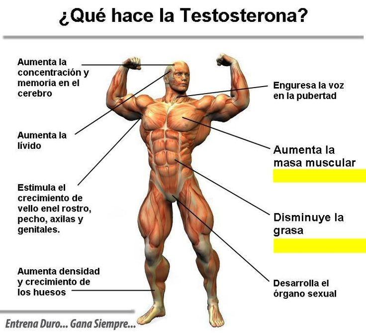 testosterona función