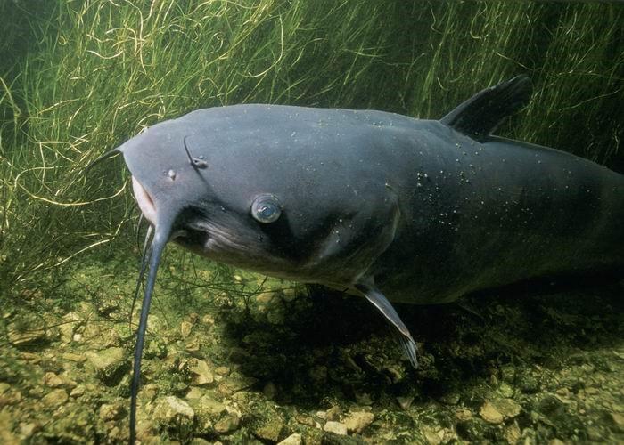 animales herbívoros acuáticos ejemplos