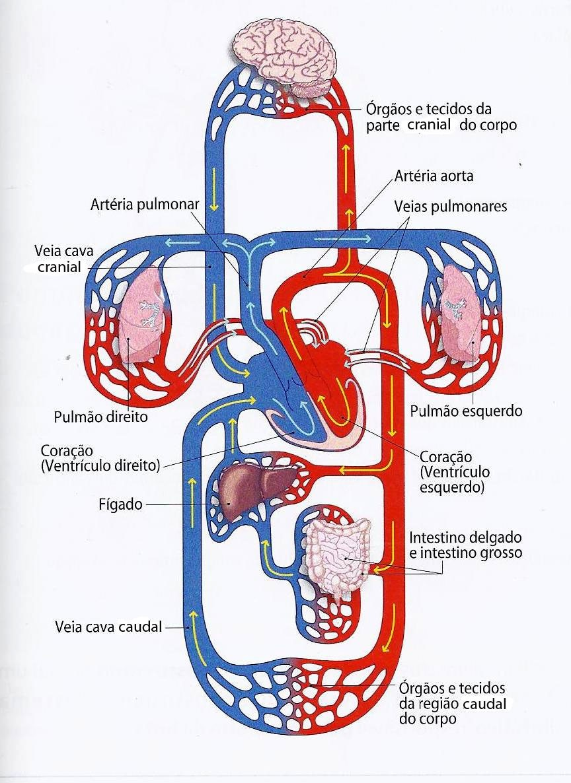 sistema cardiovascular anatomía