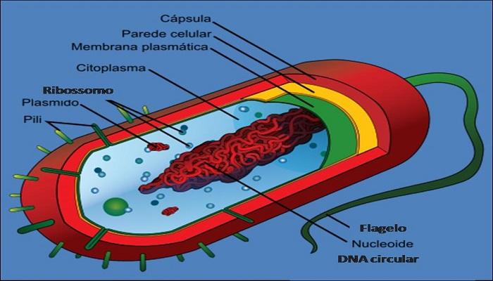 Partes de la célula bacteriana