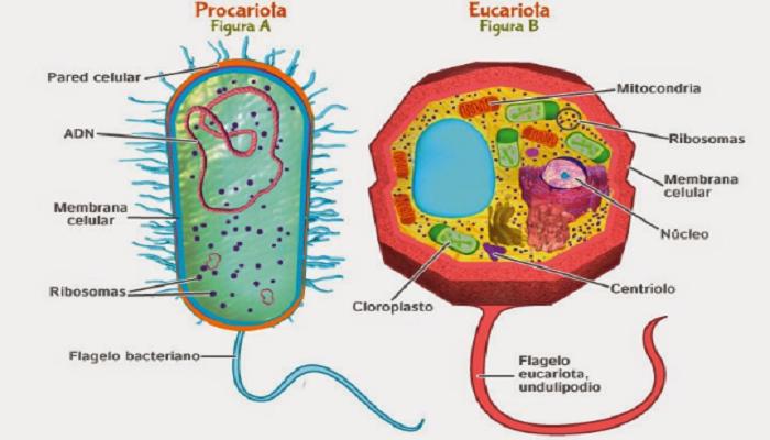 Diferencias entre célula eucariota y célula procariota