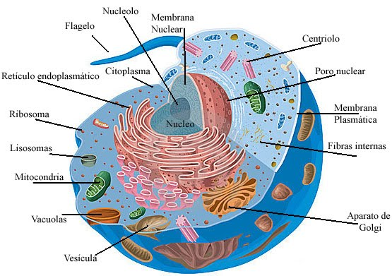 citoplasma estructura