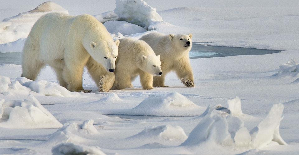 tundra animales