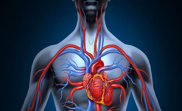 Circuito Circulatorio : ▷ sistema circulatorio qué es y qué significa ¡aprender ahora