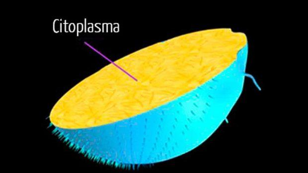 citoplasma definición
