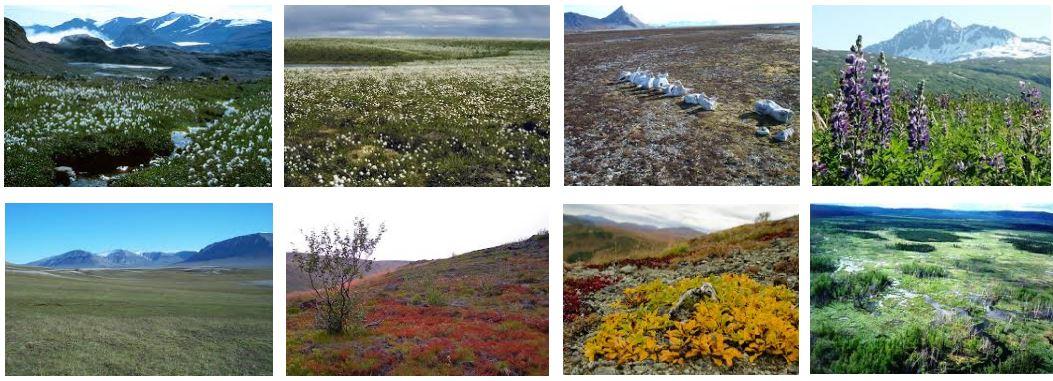 tundra flora