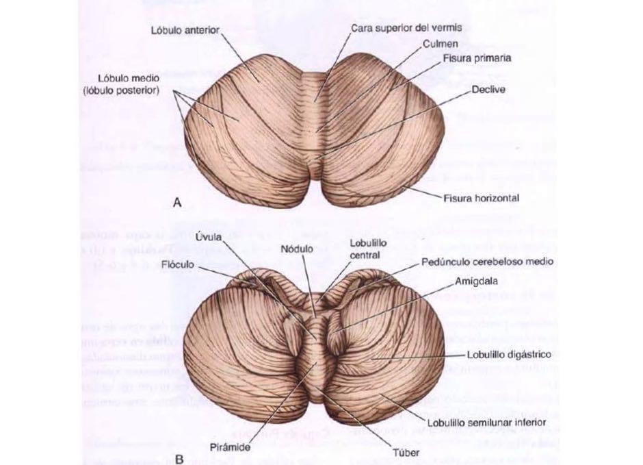 partes del cerebelo