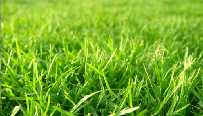 Agrostis césped