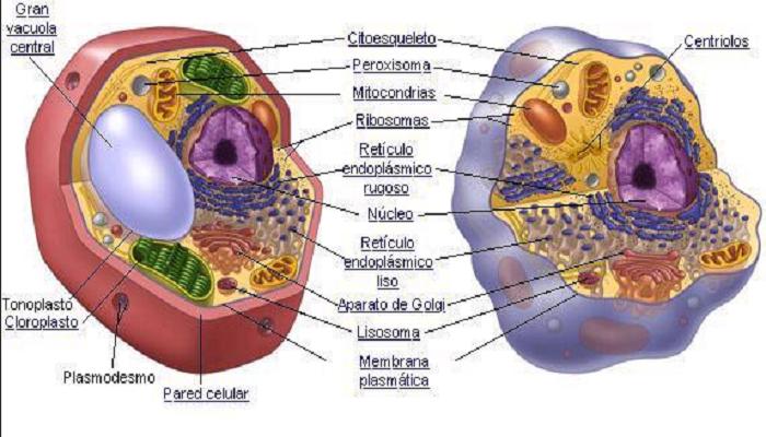 Vacuola en la célula