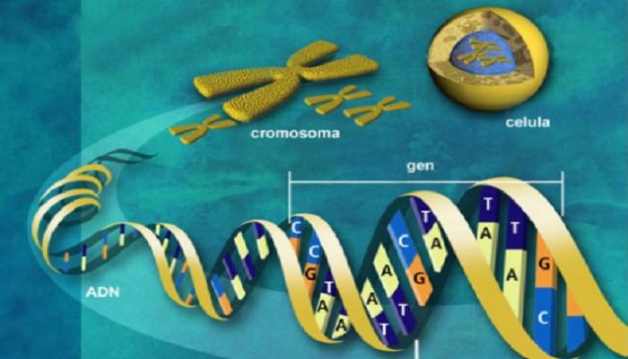 El ADN de la célula
