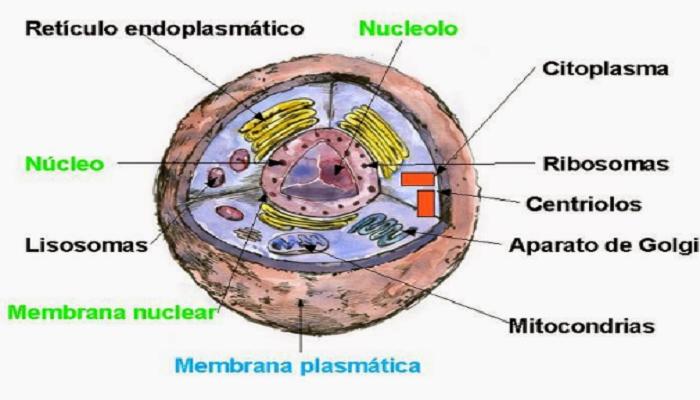 El núcleo de la célula animal