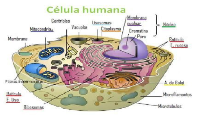 La Célula humana