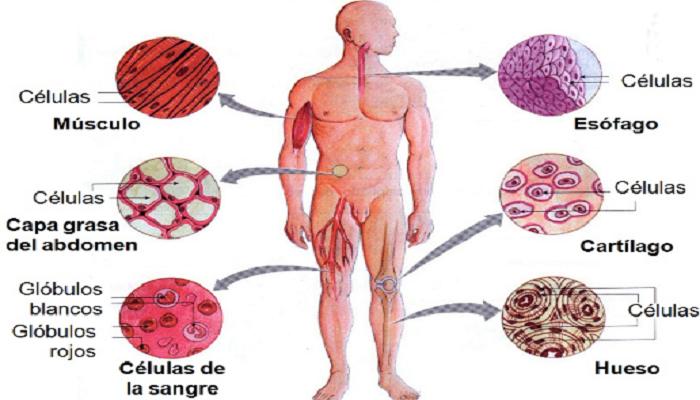 La Célula humana y sus tipos