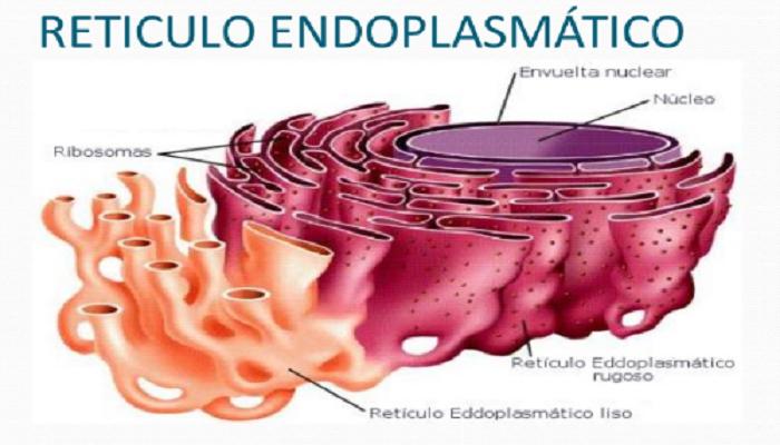 El retículo endoplasmático en la célula humana