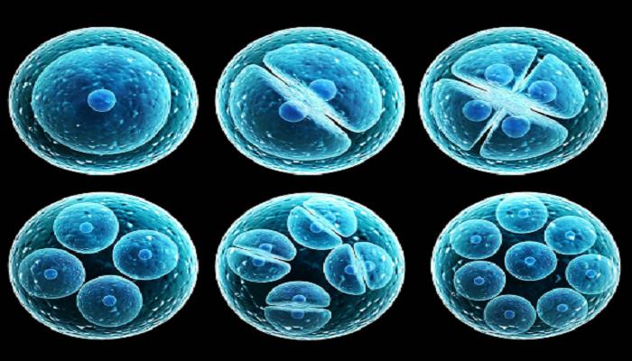 Replicación de las células madre