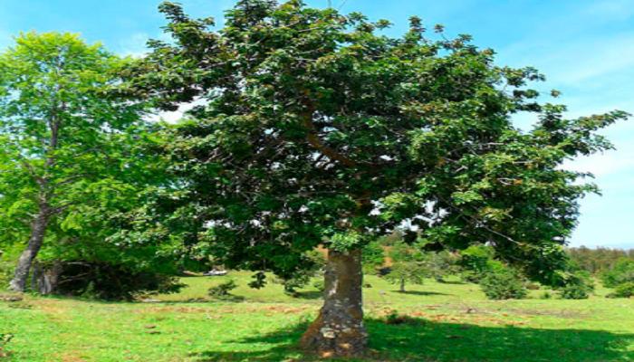 Árbol de Corylus avellana