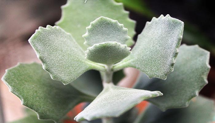 Las plantas Kalanchoe