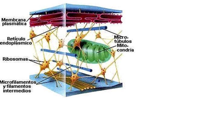 Organelos de la célula citoesqueleto