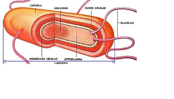 Organelos de la célula cápsula bacteriana