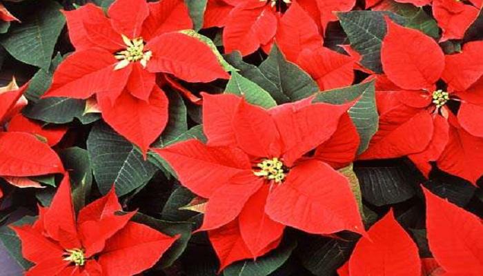 La Planta de navidad