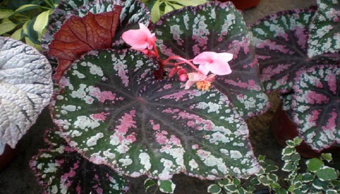 Beloperone guttata reproduccion asexual de las plantas