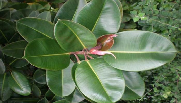 Plantas de ficus