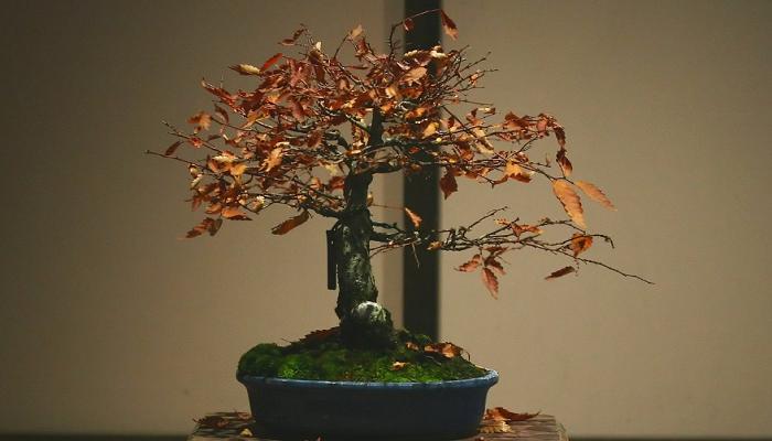 Plantas de bonsáis