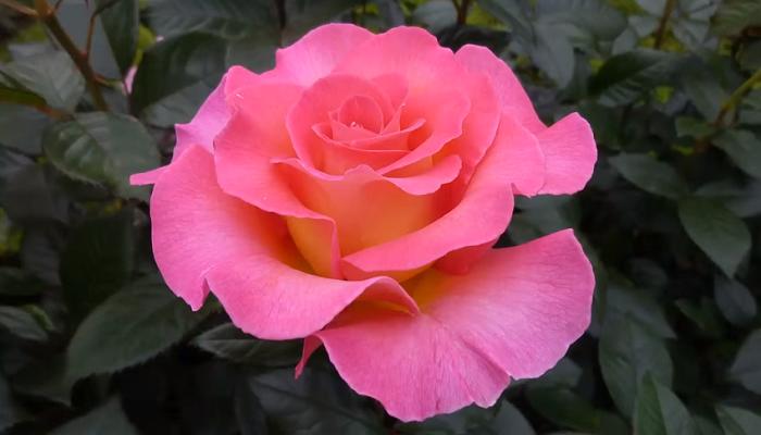 Plantas de rosa