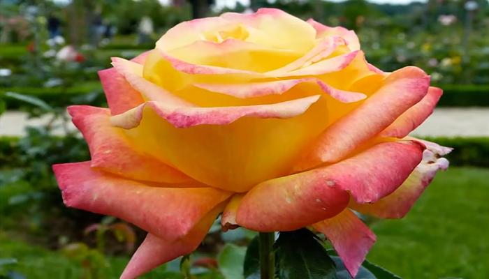 Variedades en plantas de rosa