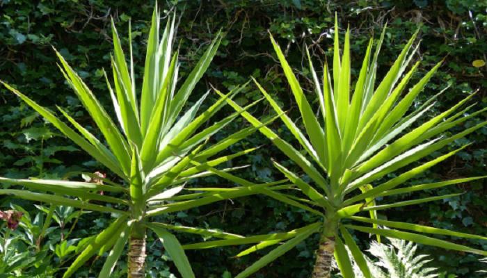 Plantas de yuca ornamental