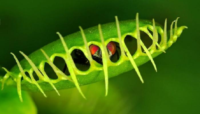 Plantas carnívoras venus atrapamoscas