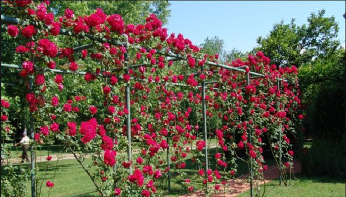 Plantas trepadoras ornamentales
