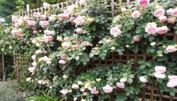 Los rosales como Plantas trepadoras