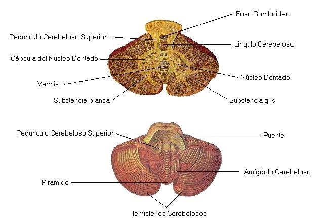 estructura del cerebelo