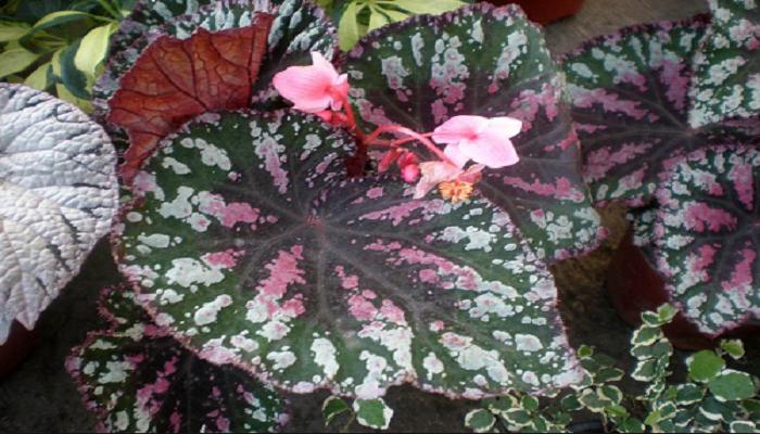 Flores de Begonia rex