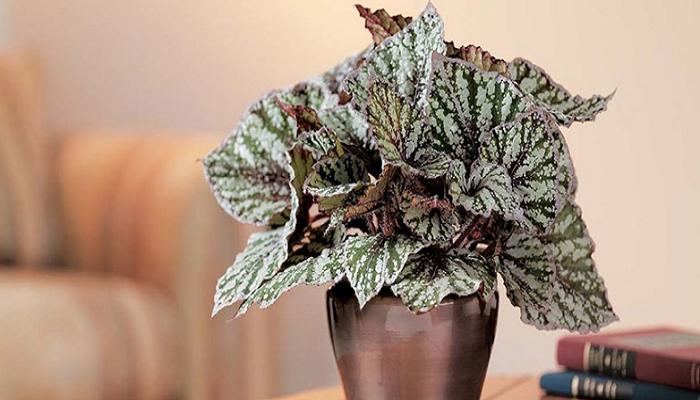 Begonia rex para decorar tu casa